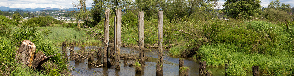 Qwuloolt Estuary Restoration Project of the Tulalip Tribes - Dock Remnants
