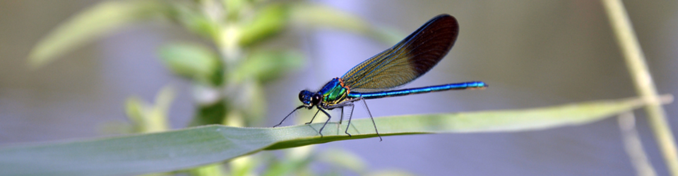 Qwuloolt Estuary Restoration Project of the Tulalip Tribes - Closeup of Blue Dragonfly at Rest