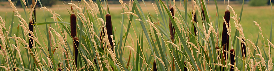 Qwuloolt Estuary Restoration Project of the Tulalip Tribes - Cattails