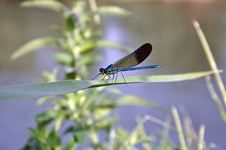 Qwuloolt Estuary Restoration Project of the Tulalip Tribes - Dragonfly at Rest